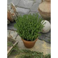 Thymus vulgaris / Tymián, K9