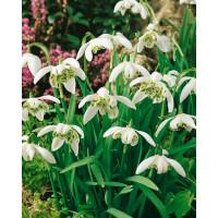Galanthus niv. ´Flore Pleno´ / Plnokv. snežienky, bal. 5 ks, 4/5