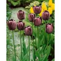 Tulipa ´Queen of Night´ / Tulipán ´Kráľovná noci´, bal. 5 ks, 11/12