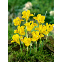 Iris danfordiae / Žltý skalkový kosatec, bal. 15 ks, 5/+