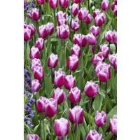 Tulipa ´Aafke´ / Tulipán, bal. 5 ks, 11/12