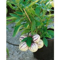 Solanum muricatum / Pepino Gold, K12