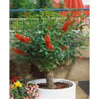 Erythrina crista-galli / Korálový ker, bal. 3 s