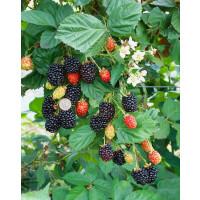 Rubus fruticosus ´Navaho´ / Beztŕňová černica, 20-30 cm, K9