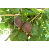 Ribes grossularia ´Niesluchowski´ / Egreš červený rezistentný, kmienok, VK, 2-3 výh.