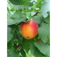 Prunus armeniaca ´Bhart´ (Orangered) / Marhuľa stredne skorá, myr.