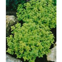 Majorana hortensis / Majoránka záhradná ´MARIETTA/MARCELKA´, bal. 0,35 g