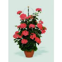 Pelargonium PAC® ´Antik Orange´ / Muškát rýchlo rastúci, bal. 6 ks sadbovačov