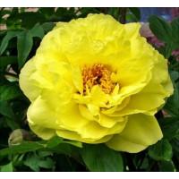 Paeonia suffruticosa ´Yellow´ / Pivonka krovitá žltá, K11