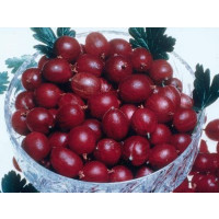 Ribes grossularia ´Pax®´ / Egreš červený rezistentný beztŕnny, kmienok, VK