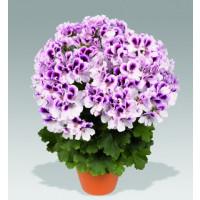 Pelargonium grandiflorum PAC® ´Aristo Petticoat´ / Muškát veľkokvetý, K7