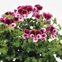 Pelargonium duft ´pac®Angels Perfume´ / Muškát voňavý, bal. 6 ks, 6xK7