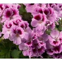 Pelargonium grandiflorum ´pac®Aristo® Orchid´ / Muškát veľkokvetý, K7