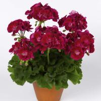 Pelargonium zonale ´pac®Flower Fairy® Velvet´ / Muškát krúžkovaný, K7