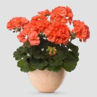 Pelargonium zonale ´pac®Stefanie´ / Muškát krúžkovaný, K7