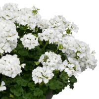 Pelargonium peltatum x zonale ´pac®TWOinONE® White / Muškát vzpriamený, bal. 3 ks, 3x K7