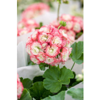 Pelargonium zonale Grandeur®DECO ´Appleblossom´ / Muškát ružičkový, bal. 3 ks, 3x K7