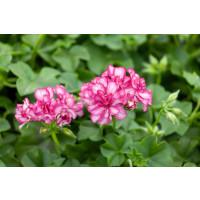 Pelargonium pelt. ´Mexica Amy´ / Muškát, bal. 3 ks, 3x K7