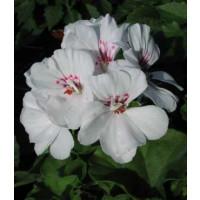 Pelargonium pelt. ´Blanche Roche´ / Muškát, bal. 6 ks, 6x K7