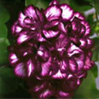 Pelargonium pelt. PAC® ´Mexica Tomcat´ / Muškát, bal. 3 ks, 3xK7