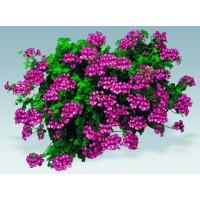 Pelargonium pelt. PAC® ´Happy Face Mex´ / Muškát, bal. 6 ks, 6x K7