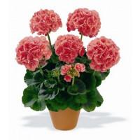 Pelargonium zonale ´Bergpalais´ / Muškát krúžkový lososový, bal. 6 ks, 6xK7
