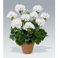 Pelargonium zonale ´Glacis´ / Muškát krúžkový biely, K7