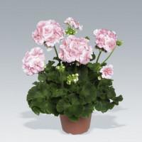 Pelargonium zonale ´Salmon Princess´ / Muškát krúžkový ružový, bal. 6 ks sadbovačov