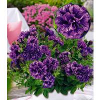 Petunia x atkinsiana Tiny Pleasure® ´Double Amethyst Vein´ / Petúnia plnokvetá, bal. 3 ks, 3xK7