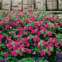 Petunia x atkinsiana Funny Pleasure® ´Double Hot Pink´/ Petúnia plnokvetá, surfínia, bal. 3 ks, 3xK7