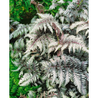 Athyrium nipponicum ´Pewter Lace´ / Papradka, K9