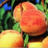 Prunus persica ´Cresthaven´ / Broskyňa neskorá, GF677, VK