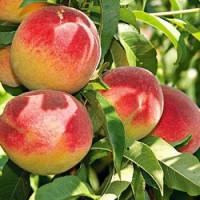 Prunus persica ´Redhaven´ / Broskyňa skorá, GF677