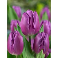 Tulipa ´Purple Flag´ / Tulipán, bal. 5 ks, 11/12