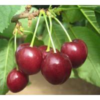 Prunus avium ´Regina´ / Čerešňa, Colt
