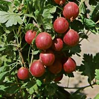 Ribes grossularia ´Kameniar´ / Egreš , ker, 2-3 výh., VK
