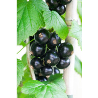 Ribes nigra ´Bona´ / Ríbezľa čierna, ker, 4-5 výh., VK