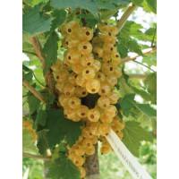 Ribes rubrum ´Blanka´ / Biela ríbezľa, krík