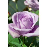 Rosa ´Lady X´ / Ruža čajohybrid, krík, BK