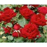 Rosa ´Bergmann´ / Ruža čajohybrid, krík, BK