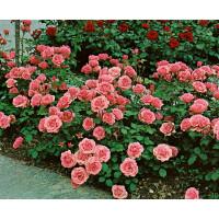 Rosa ´Kimono´ / Ruža mnohokvetá ružová, krík, BK