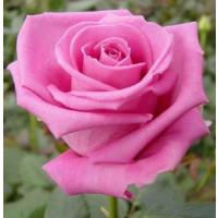 Rosa ´Aquatica´ / Ruža čajohybrid, krík, BK