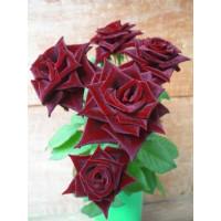 Rosa ´Black Matisse´ / Ruža čajohybrid, krík, BK