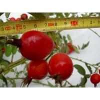 Rosa pomifera syn. villosa ´Karpatia´ / Ruža plodová, 15-20 cm, K11
