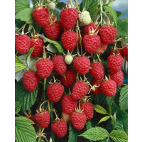 Rubus idaeus ´Autumn Bliss´ / Malina červená, 80-100 cm, K11