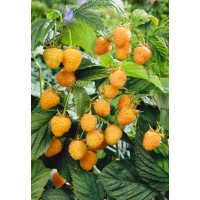 Rubus idaeus ´Golden Everest´ / Malina žltá, K11