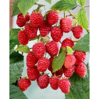 Rubus idaeus ´Himbo Top´ / Malina červená, K11