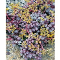 Sedum spathulifolium ´Purpureum´ / Rozchodník, K9