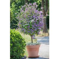 Solanum rantonnetii / Enciánový stromček, K9