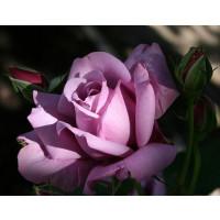 Rosa ´Sterling´ / Ruža čajohybrid fialová, krík, BK